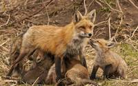 Red Fox Mama and Baby