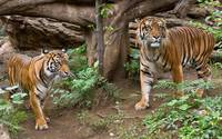 Bengal Tigers Pacing
