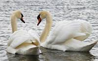 Valentine Swans Swim Together