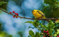 Yellow Finch On A Holly Branch