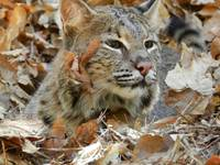 Bobcat Plays In Autumn Leaves