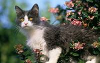 Fluffy Tuxedo Cat Plays In Pink Flowers