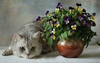 Grey Tabby Cat Lays By The Pansy Flower Pot