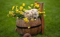 Guinea Pigs In A Barrel of Of Pansy Flowers