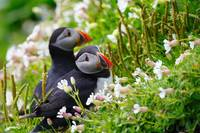 Puffin Birds In The Flowers
