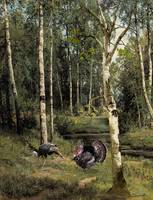 Wild Turkeys in Birch Tree Forest