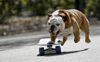 Skateboarding Bulldog Puppy
