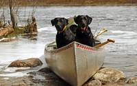 Cute Dogs Taking A Boat Ride