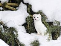 White Ermine In The Snow