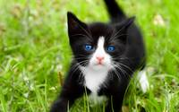 Cute Tuxedo Kitten In The Green Grass