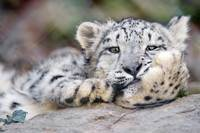 Snow Leopard Relaxes