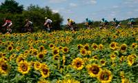 Bikers Drive Through Sunflowers