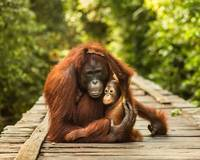 Mother Orangutan Cuddles Her Baby