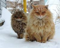 Siberian Winter Cats