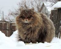 Siberian Cat In The Snow