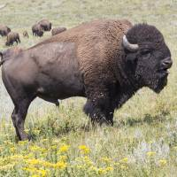 Black Hills Buffalo by Roger Dullinger