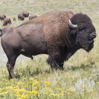 Black Hills Buffalo by Roger Dullinger