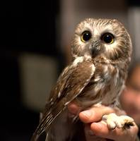 Cute Northern Saw Whet Owl