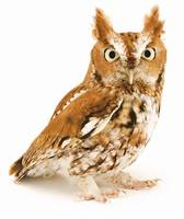 Eastern Screech Owl Poses