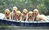 Golden Retriever Puppies On A Bridge