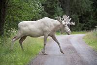 Rare White Moose Crosses Road, Sweden