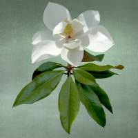 White Magnolia by I.M. Spadecaller