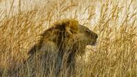A Lion In The Grass, Zimbabwe, Africa