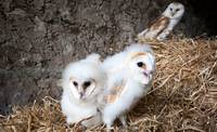 Barn Owl Chicks In A Nest
