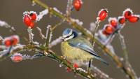 Blue Tit Bird Rose Hips in Winter Frost