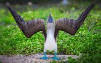 Blue Footed Booby Bird In The Galápagos Islands