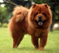 Chow Chow Dog Poses