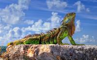 Common Iguana, Florida Keys, Florida, USA