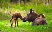 Cow And Calf Moose, Alaska
