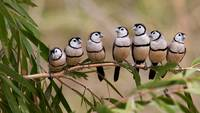 Double Barred Finch Bird Flock, Australia