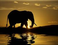 Elephant Silhouette In The Sunset, Africa