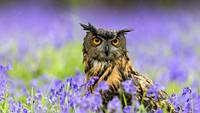 Eurasian Eagle Owl in A Bluebell Flower Patch