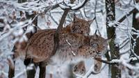 European Lynx Cats In A Snow Covered Tree