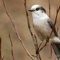 """Gray Jay Bird, Canada"" by AnswersFound"