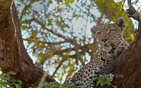 Leopard Perched In A Tree in Botswana, Africa