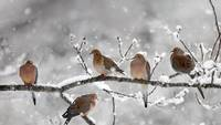 Mourning Doves In The Snow, Canada