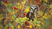 Northern Saw Whet Owl Perching In A Wild Rose Bush