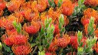 Pincushion Protea Flowers, Africa
