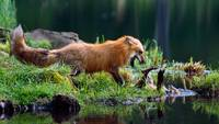 Red Fox Mother With Her Cub