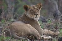 Resting African Lion