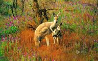 Red Kangaroo and Her Joey