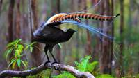 Superb Lyre Bird, Australia