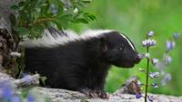 Striped Skunk Smelling A Wildflower