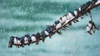 Tree Swallows in a Spring Snowstorm, Canada