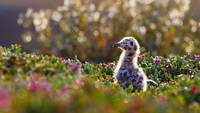 Western Gull Chick in  California