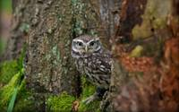 Wide Eyed Tree Owl